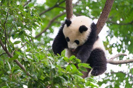 Giant Panda sleeping high up a in tree in Chengdu Sichuan China