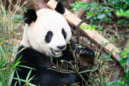 Portait of a Giant Panda eating bamboo leaves with mouth open showing his tooth in Chengdu Sichuan China Stok Fotoğraf