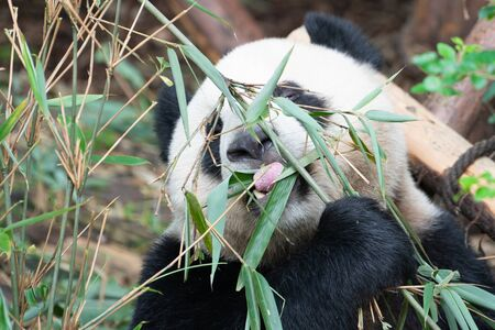 Close-up portait of a Giant Panda eating bamboo leaves with the help of his tongue in Chengdu China