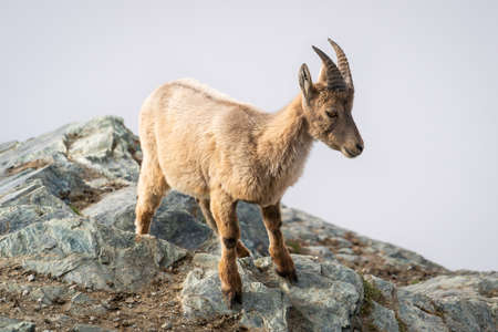 Young wild Alpine ibex steinbock or ibex on rocky mountain close-up view at Gornergrat in Swiss Alps Switzerland
