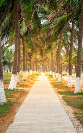 Vertical walk way view along many coconut trees and dramatic light on Haikou beachside in Hainan China