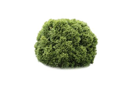 cedro: Cypress sobre un fondo blanco Foto de archivo