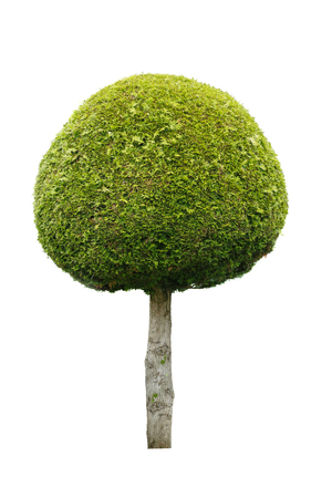 huge tree: Cute ball shaped tree isolated on white background