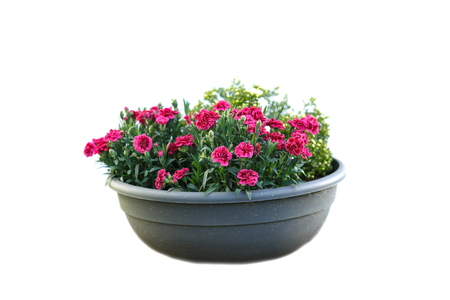 Isolated flower in pot
