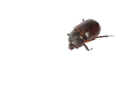 Big brown beetle isolated on a white background. macro