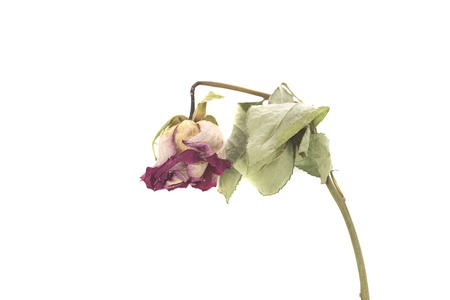A dried rose isolated on a white background.