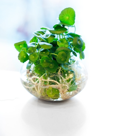 soilless cultivation: hydroculture plant on glass bowl backlit by a window Stock Photo