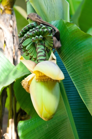 banana fruit flower blossom closeup closed on palm Stock Photo - 16216849