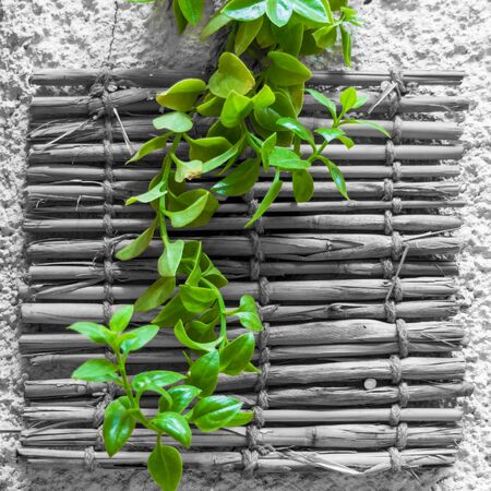 Fresh plant with green leaves over black and white shabby bamboo decoration hanging on rough wall