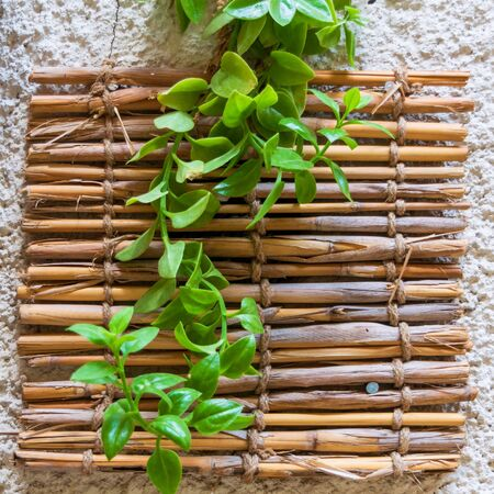 Fresh plant with green leaves and shabby bamboo decoration hanging on rough wall Stock Photo - 136667642
