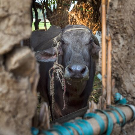 Closeup face of Egyptian grey buffalo framed by open window of clay stockyard in traditional Egyptian village Stock Photo