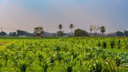 Green meadow, blue sky with few clouds and few trees and palms at the far end at an Egyptian village Stock Photo - 135157806
