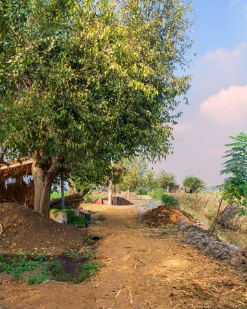 Large tree with spreading green crown in open air in valley under bright blue sky at traditional Egyptian village