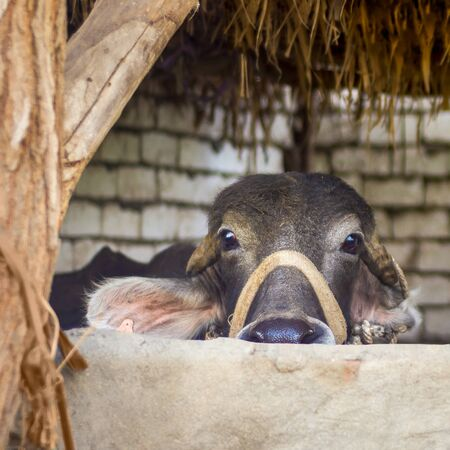 Closeup face of Egyptian grey buffalo in stockyard at traditional Egyptian village Stock Photo