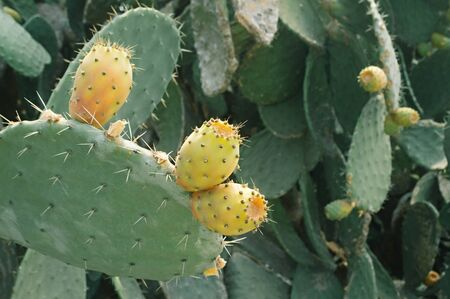 Prickly pear. Barbary fig. Moroccan cactus. Close- up. Nature wallpaper background