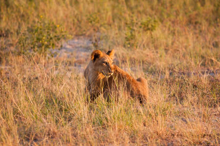 lion cub: Lion Cub staring off into the distance Stock Photo