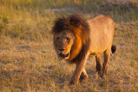 chobe national park: Lion taking a sunny walk Stock Photo