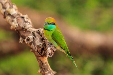 Green Bee Eater, or Merops orientalis, found Yala national Park, Sri Lanka