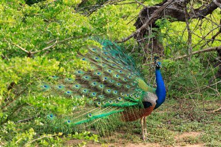 Peacock in Yala National Park, Sri Lanka