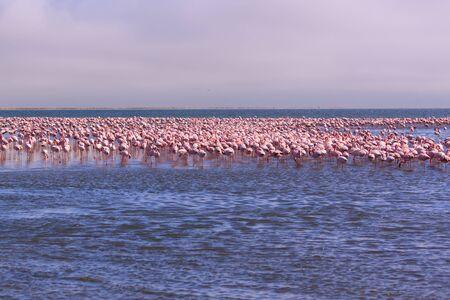 A Flamboyance of Flamingoes in Swakopmund, Namibia Banco de Imagens