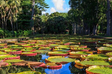 Victoria Amazonica lilies in Pamplemousses Boticanal Gardens, Mauritius Stock Photo