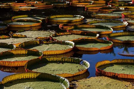 Victoria Amazonica lilies in Pamplemousses Boticanal Gardens, Mauritius