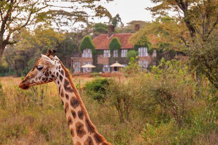 Das Giraffe Center in der Nähe von Nairobi, Kenia Standard-Bild