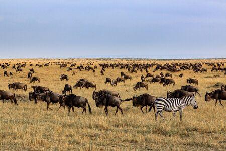 Impalas and zebra in the Masai Mara National Park