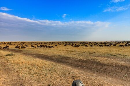 Endless sea of wildebeast on the plains of the Masai Mara National Park