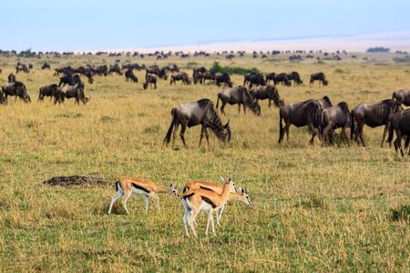 Impalas and wildebeast in the Masai Mara National Park Stockfoto - 130087203