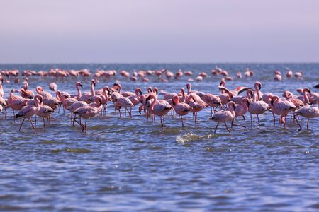 A flamboyance of flamingoes in Swakopmund, Namibia