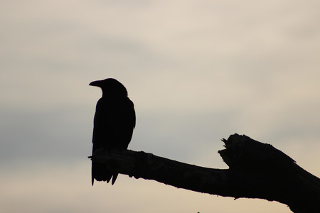 trickster: Silhouette of a crow on a barren branch
