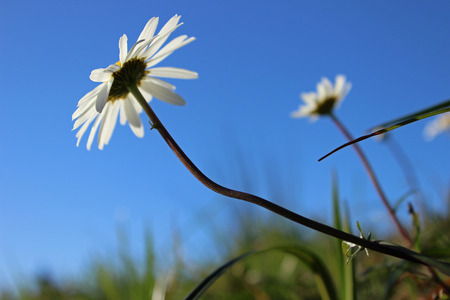 ox eye: Oxeye daisy (Leucantemum vulgare) reaching for the sun