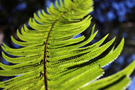 upright row: Polystichum munitum western sword fern glowing in the light