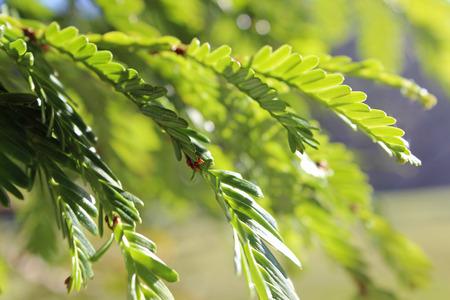 Redwood tree Sequoia sempervirens needles in the light Stock Photo