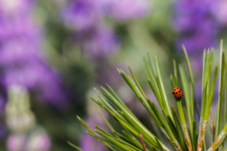coccinella: Ladybug crawling down pine needles in front of a blurred purple field of lupine