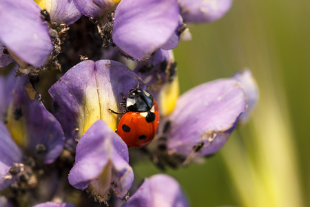 coccinella: Ladybug on a lupine flower eating aphids