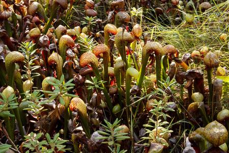 bog: Field of cobra lilies (Darlingtonia californica) in a bog Stock Photo