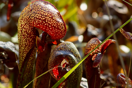 seep: Closeup of the California pitcher plant, or cobra lily (Darlingtonia californica) with light shining through it