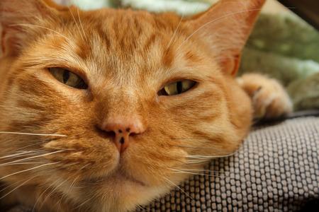 Orange tabby peering sleepily at the camera Standard-Bild