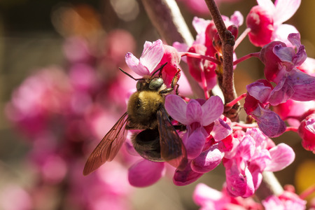 Closeup of a carpenter bee (Xylocopa), pollinating a flower of the western redbud (Cercis occidentalis), a flowering tree Stock Photo