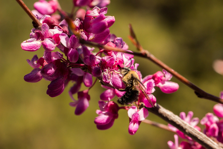 Sideview of a carpenter bee (Xylocopa), pollinating a flower of the western redbud (Cercis occidentalis), a flowering tree Stock Photo
