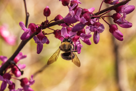 A carpenter bee (Xylocopa) pollinating a flower of the western redbud (Cercis occidentalis), a flowering tree