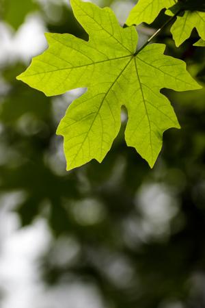 acer: Bigleaf maple (Acer macrophyllum) leaf against a blurred background