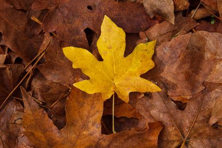 acer: Golden bigleaf maple (Acer macrophyllum) leaf on a layer of dead brown leaves