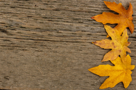 acer: Bigleaf maple (Acer macrophyllum) leaf border against textured wood background with copyspace