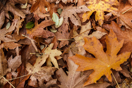 acer: Brown leaf litter from a bigleaf maple (Acer macrophyllum) scattered on the ground