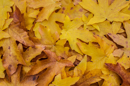 acer: Pile of the seasonal leaves of the Bigleaf maple (Acer macrophyllum), making a colorful background Stock Photo