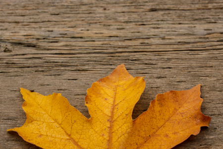acer: Bigleaf maple (Acer macrophyllum) on textured wood with copyspace
