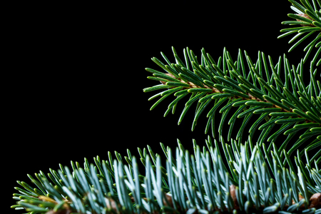 Closeup of Sitka spruce (Picea sitchensis) needles against a black background with space for text
